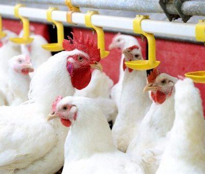 Carne de frango recupera posição na pauta cambial