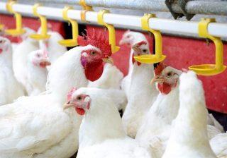 Prosseguem as baixas do frango vivo no mercado paulista
