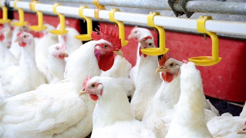 Em São Paulo, frango vivo sofre terceira baixa consecutiva da semana