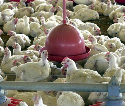 Indústria de ração animal brasileira sente impacto com baixa na avicultura