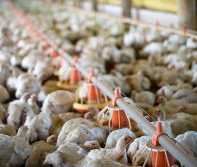 Peso médio do frango aumentou mais de 1% ao ano nas duas últimas décadas