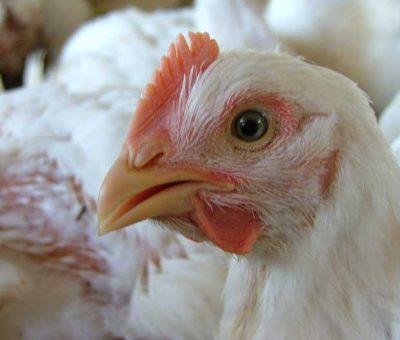 Exportações de carne de frango cresceram 64% em junho